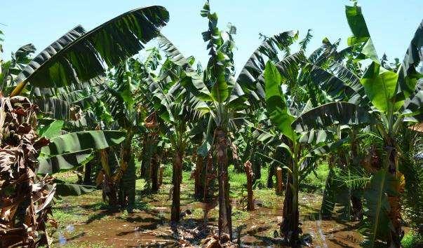 Банановий острів