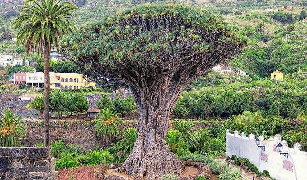 Драконове дерево